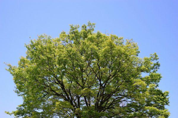 2017年2月町内会だより 玉川学園前駅周辺のケヤキと桜の木の伐採について