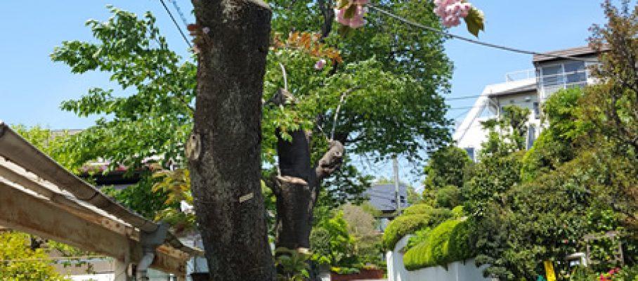 2017年5月号町内会だより 大島桜、普賢象桜伐採後