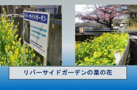 Bリバーサイドガーデンの菜の花